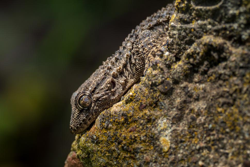 Gecko fotografiert mit Olympus MFT oder Nikon Vollformat?