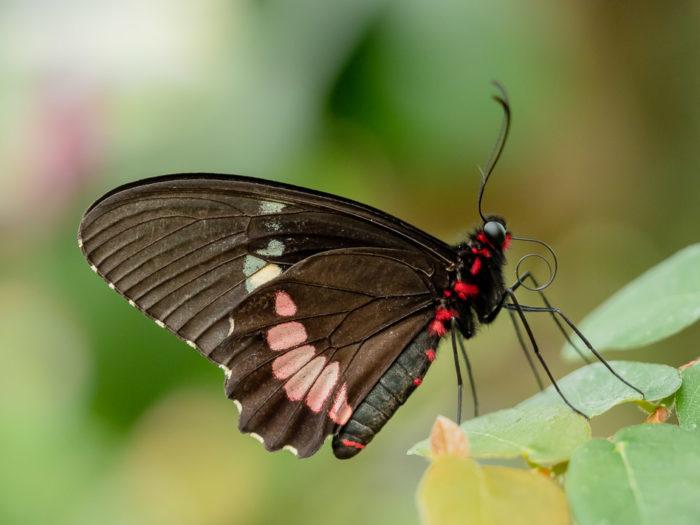 schöner Falter im Schmetterlingshaus Hamm