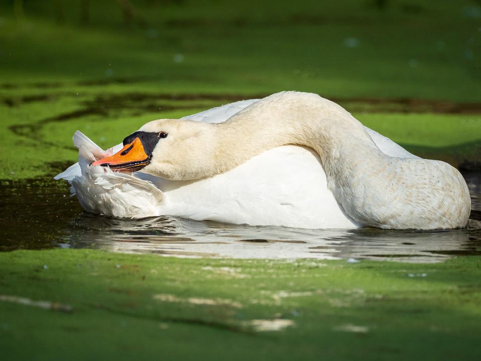 Höckerschwan bei der Gefiederpflege