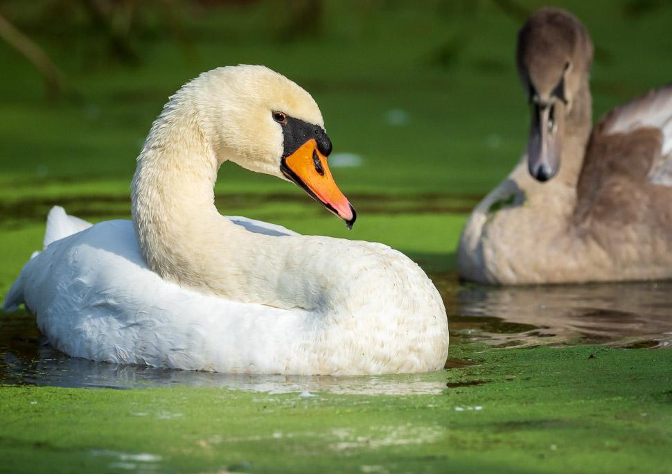 Höckerschwan mit Jungem