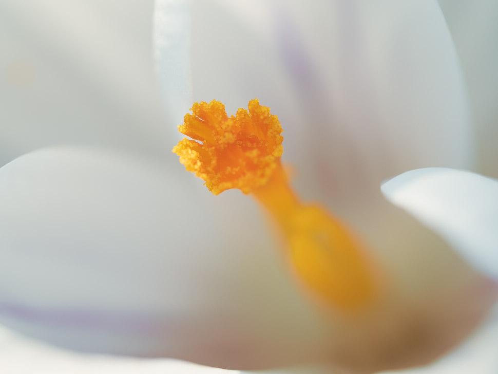 Detail einer Krokusblüte