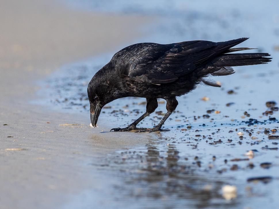 Rabenkrähe am Strand von Juist