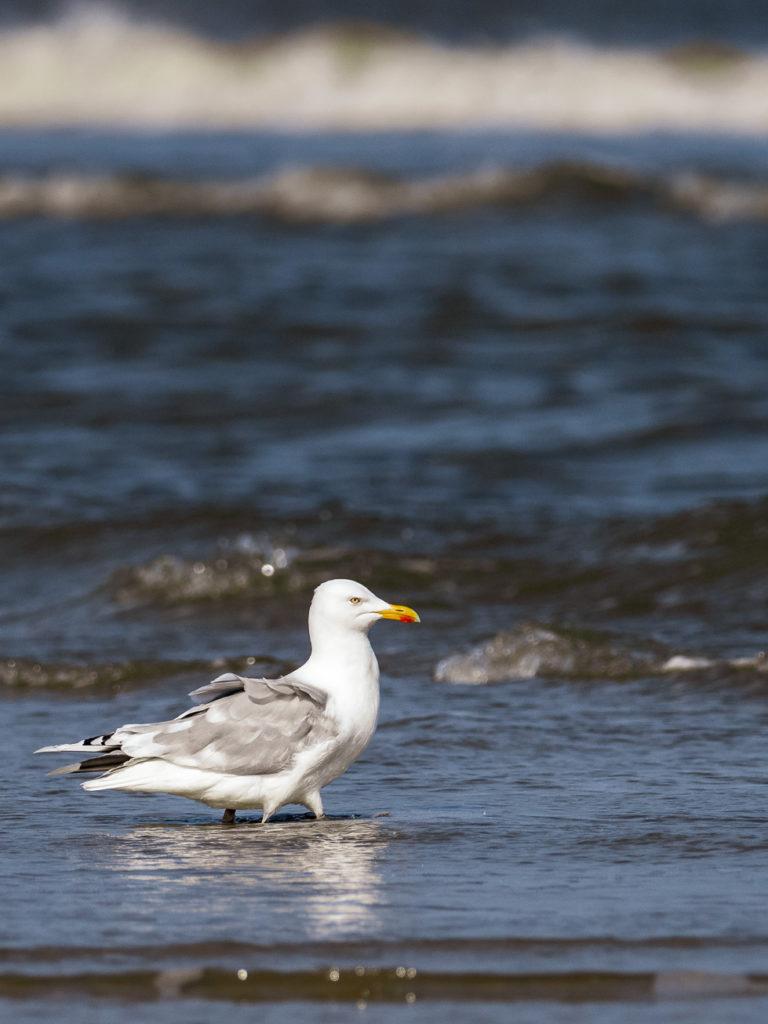 Silbermöwe am Strand von Juist