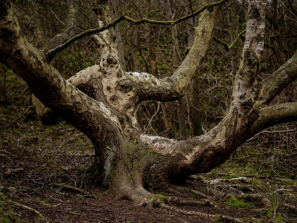 Baumpersönlichkeit beim Hammersee auf Juist