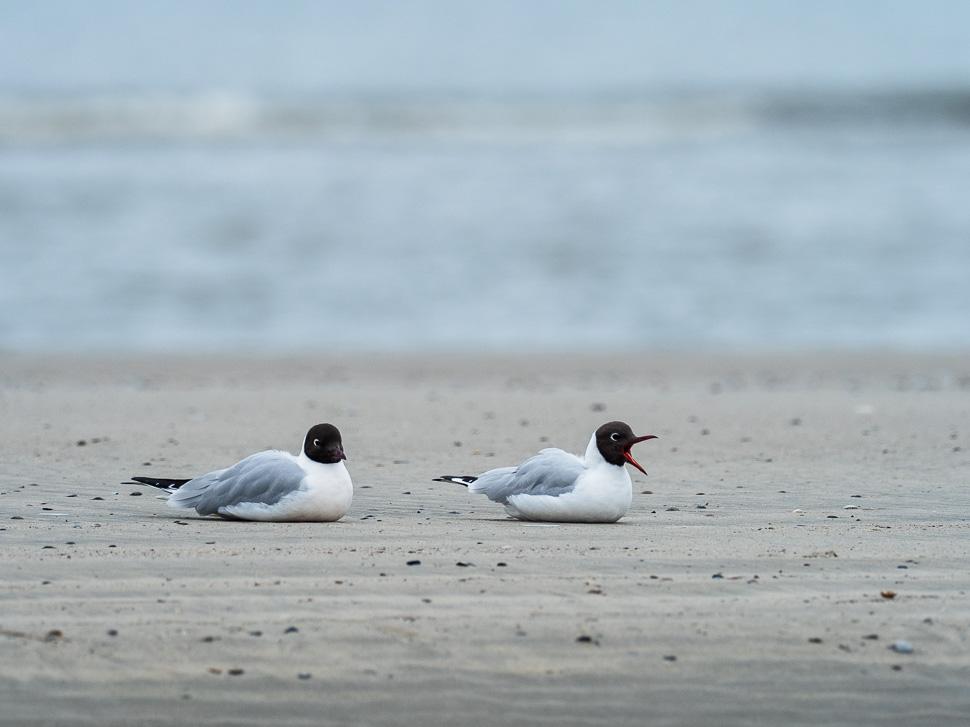 Lachmöwen am Strand von Juist