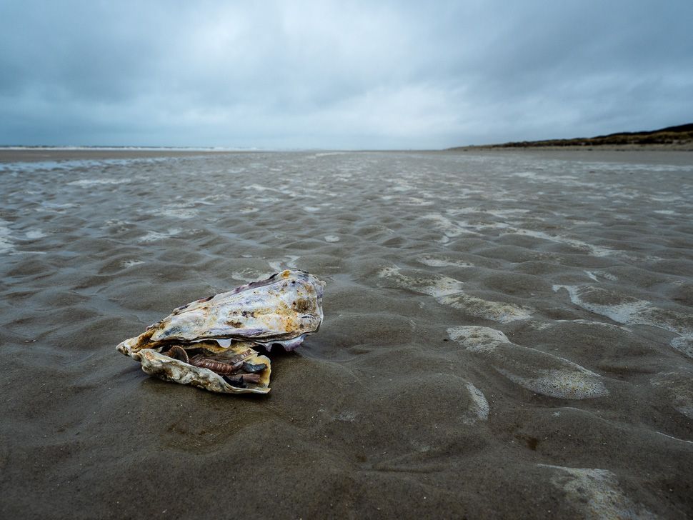 Muschel am Strand von Juist