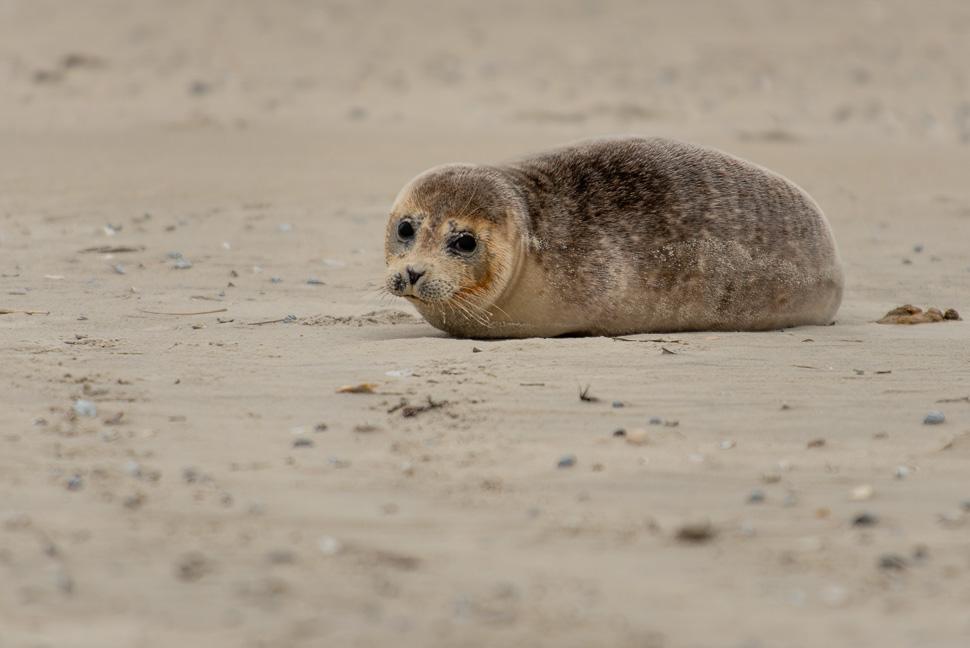 Seehund am Strand von Juist