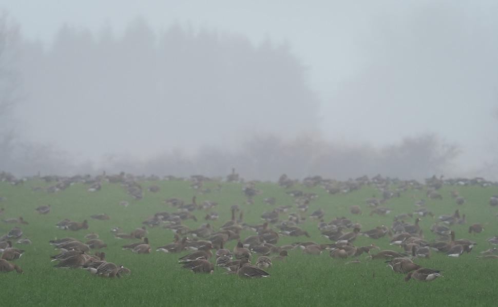 großer Gänsetrupp im Nebel am Niederrhein