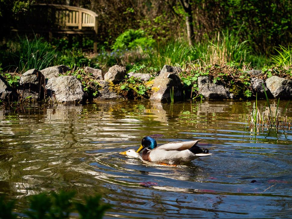 sich paarende Stockenten im Teich