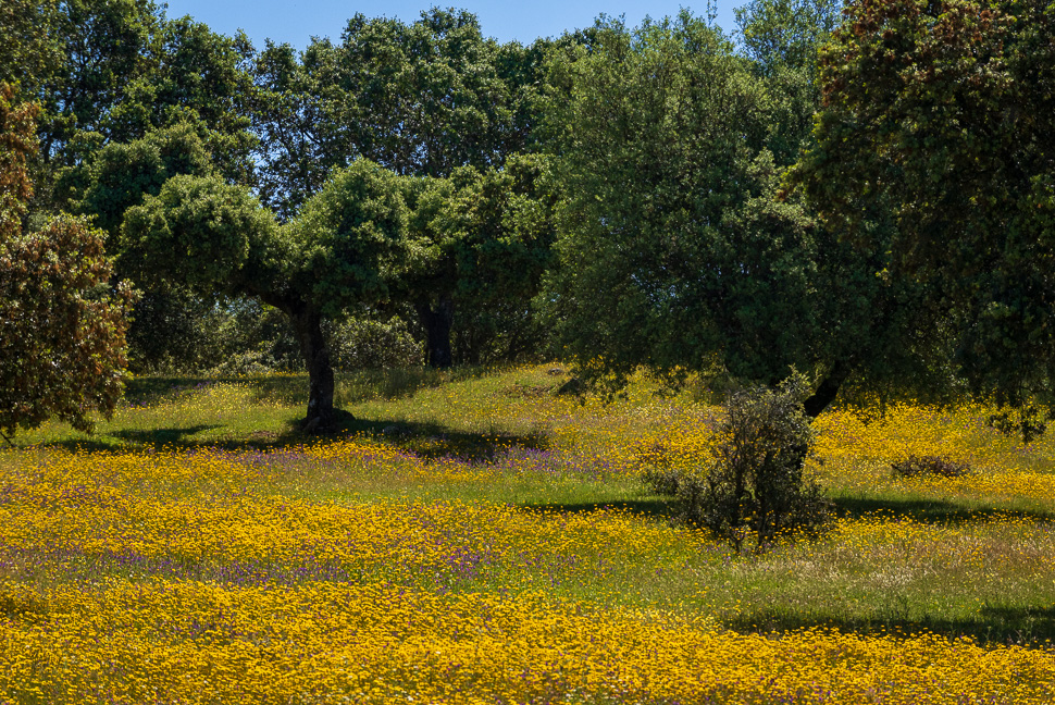 blühende Dehesa in Gelb