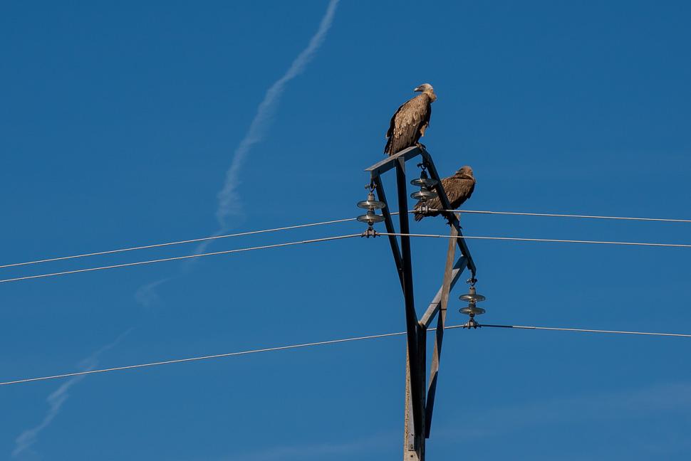 2 Gänsegeier auf Strommast