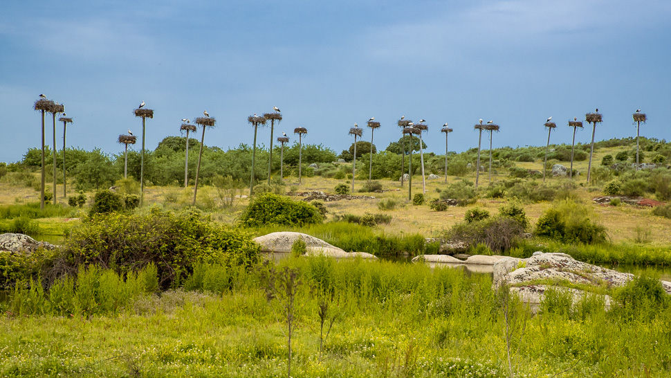 Storchenhorste auf Pfählen bei Malpartida de Cáceres