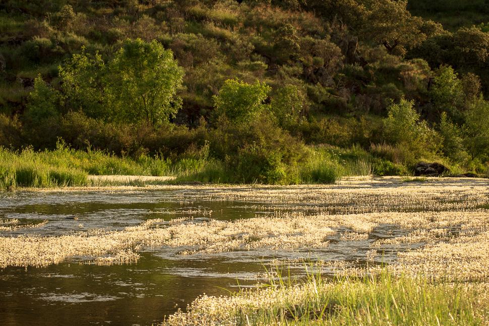 Wasserhahnenfuß am Unterlauf des Rio Almonte