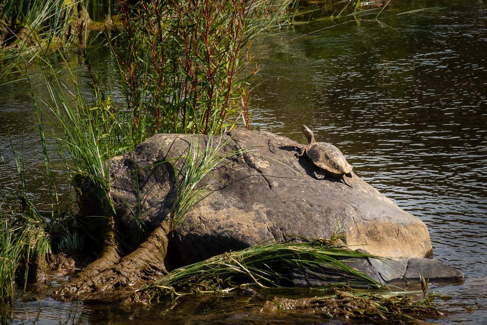 Schildkröte am Rio Almonte