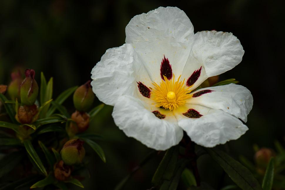 Zistrosenblüte