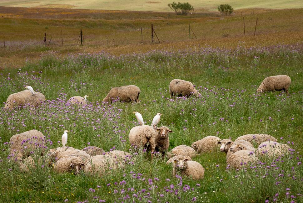 Kuhreiher auf Schafen