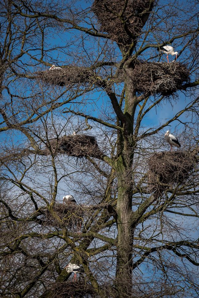 Baum mit vielen Weißstorchhorsten