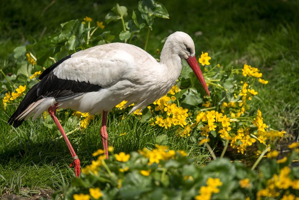 Weißstorch inmitten von gelben Blumen