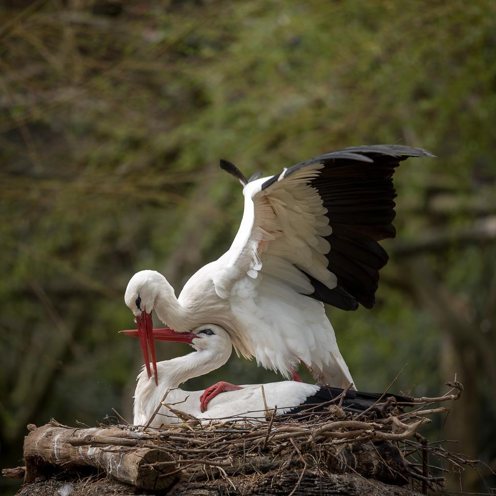 Weißstorchpaar bei der Kopula