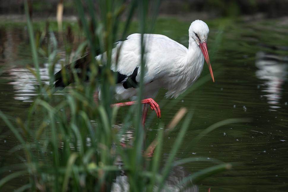 Weißstorch durchs Wasser schreitend