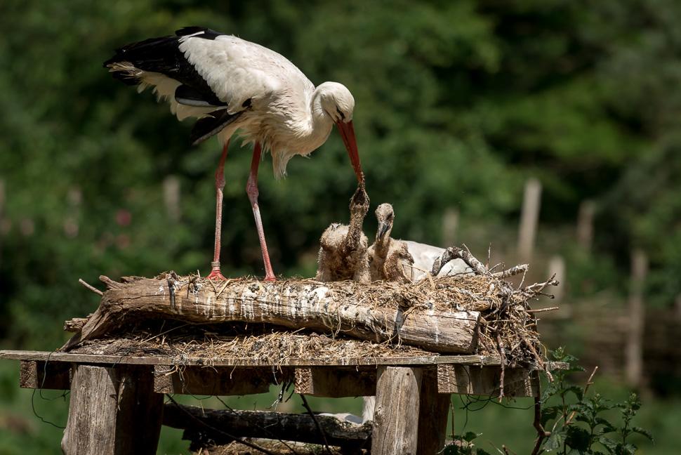 Weißstorch beim Füttern