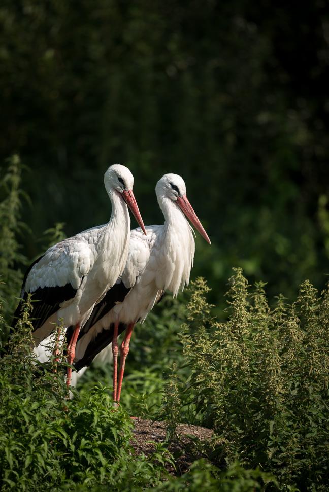 Weißstorchpaar