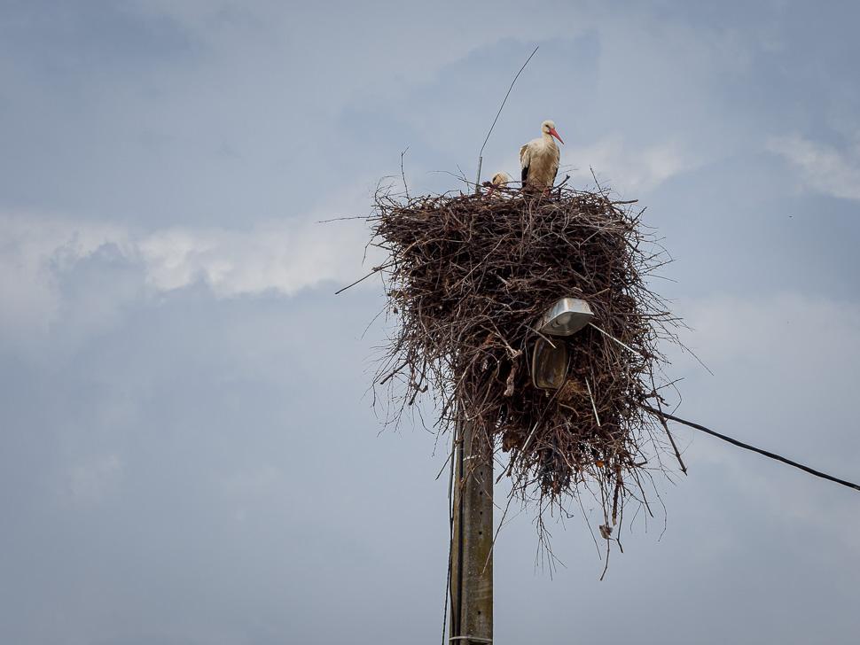 Weißstorchpaar im Horst auf Laternenpfahl