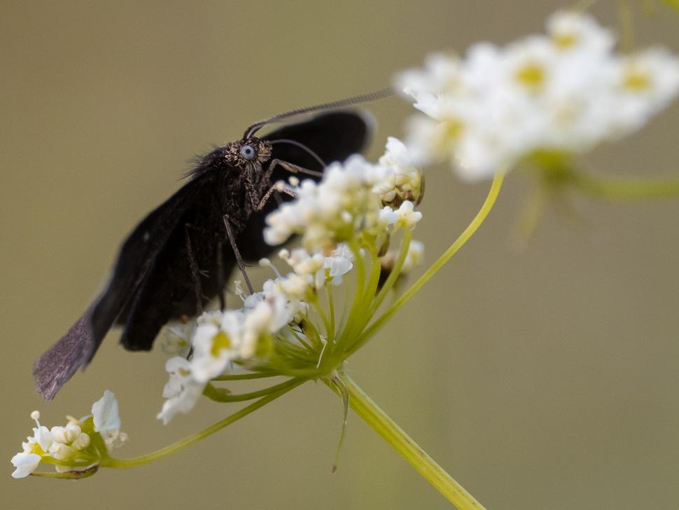 Schwarzspanner auf einer Blüte