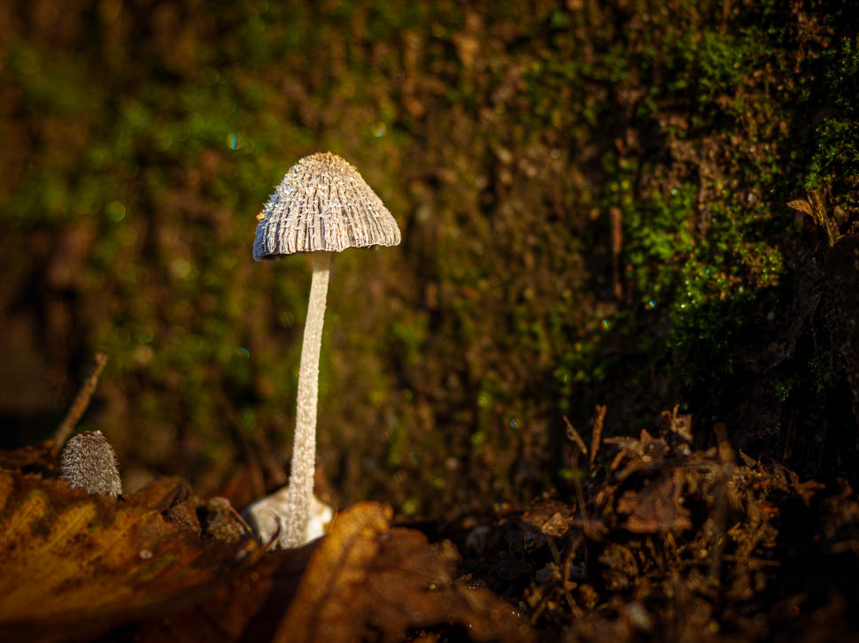 kleiner Pilz vor bemooster Mauer