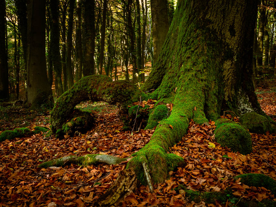 grün bemooste Baumwurzel im Herbstlaub