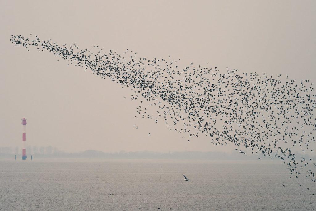 Vogelschwarm über Leuchtturm