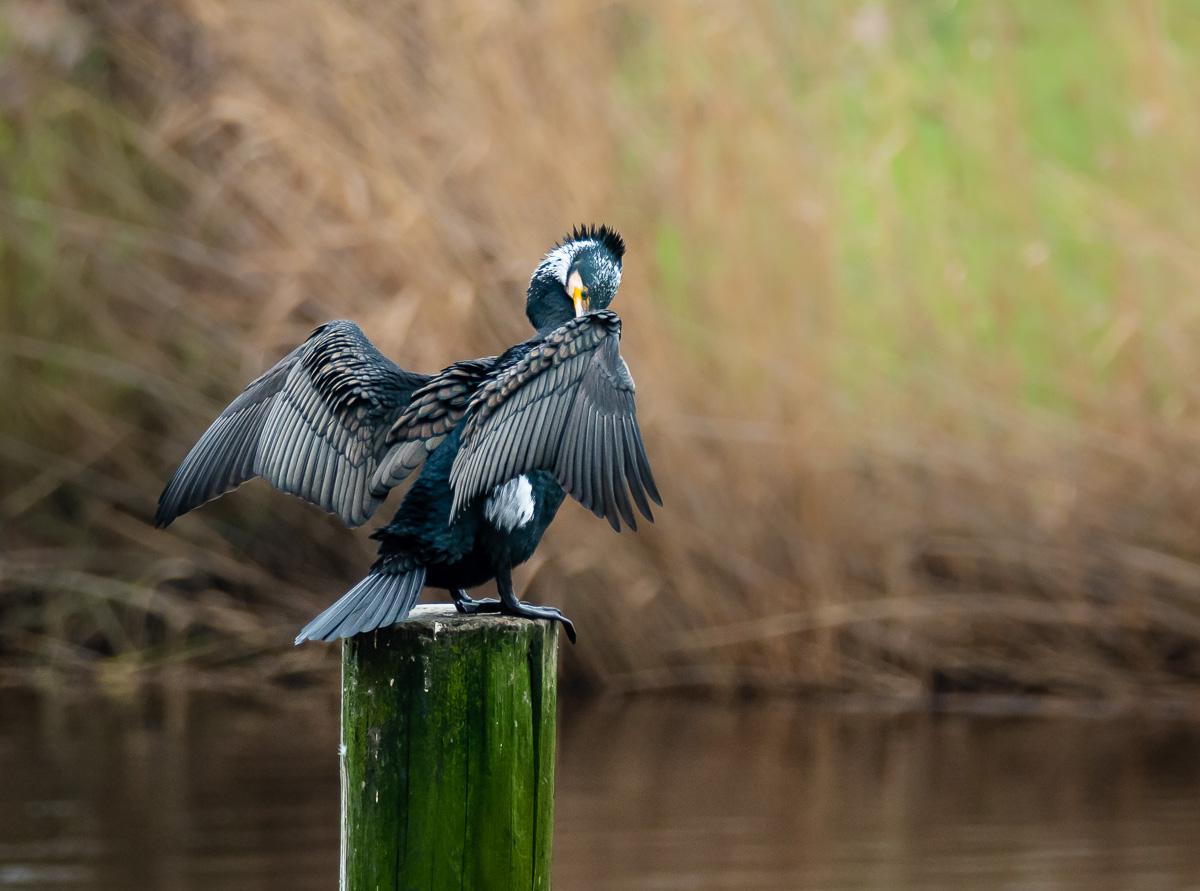 Kormoran trocknet seine Flügel